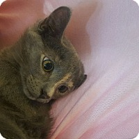 Adopt A Pet :: Blair - Miami Shores, FL