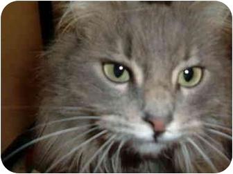 Maine Coon Cat for adoption in No.Charleston, South Carolina - Bristol