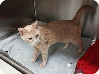 Domestic Shorthair Cat for adoption in Arlington/Ft Worth, Texas - Tiggy