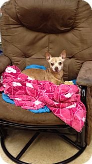 Chihuahua Mix Dog for adoption in Bluff city, Tennessee - WOODY