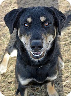 Shepherd (Unknown Type) Mix Dog for adoption in Cheyenne, Wyoming - Melchoir