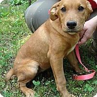 Adopt A Pet :: Scarlett - Staunton, VA