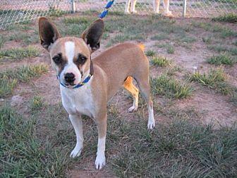 Chihuahua Mix Dog for adoption in Wichita Falls, Texas - Paco