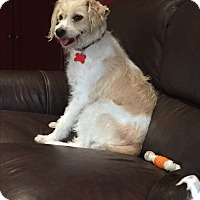 Cockapoo/Wheaten Terrier Mix Dog for adoption in El Segundo, California - Delilah