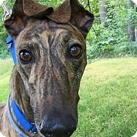 Adopt A Pet :: Archie - Swanzey, NH