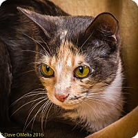 Domestic Shorthair Cat for adoption in Anna, Illinois - DIVA