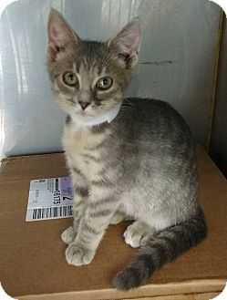 Domestic Shorthair Kitten for adoption in Powellsville, North Carolina - BETTY