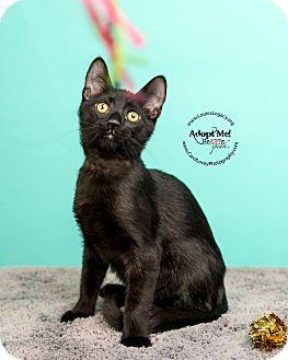 Domestic Shorthair Cat for adoption in Cincinnati, Ohio - Baloo