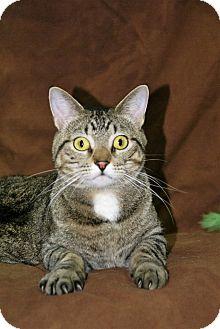 Domestic Shorthair Kitten for adoption in Hawk Point, Missouri - Baron
