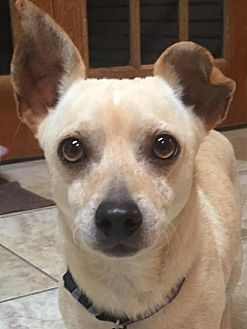 Chihuahua/Terrier (Unknown Type, Medium) Mix Dog for adoption in Tomball, Texas - Wally