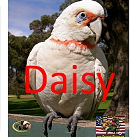 Adopt A Pet :: Daisy The Western long billed - Vancouver, WA