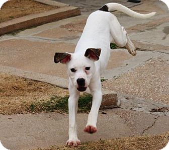 American Bulldog Mix Puppy for adoption in Dallas, Texas - Snowflake