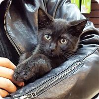 Adopt A Pet :: Lotus - Toronto, ON