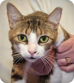 American Shorthair Cat for adoption in Horsham, Pennsylvania - Reeta