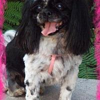 Shih Tzu Dog for adoption in Anaheim Hills, California - Oreo