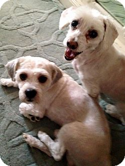 Poodle (Toy or Tea Cup) Mix Dog for adoption in Wantagh, New York - Willy Nelson