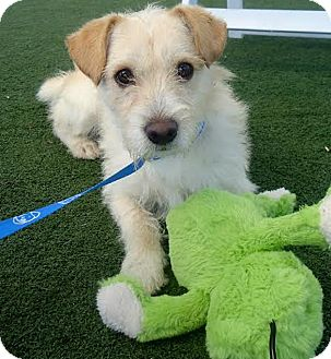Jack Russell Terrier/Terrier (Unknown Type, Small) Mix Dog for adoption in San Francisco, California - Benny