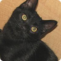 Adopt A Pet :: Pygmy - Tulsa, OK