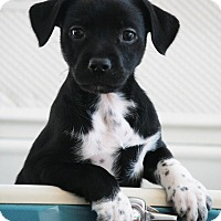 Adopt A Pet :: Bay Side (Downy Oshun Litter) - Frederick, MD