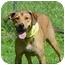 Photo 4 - Labrador Retriever/Vizsla Mix Dog for adoption in Milwaukee, Wisconsin - Sanders