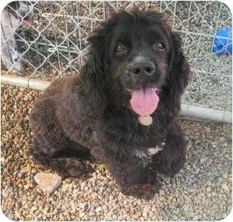 Cocker Spaniel Dog for adoption in Chandler, Arizona - Scamp