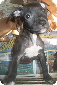 American Pit Bull Terrier/Hound (Unknown Type) Mix Puppy for adoption in Holmes Beach, Florida - Adrian