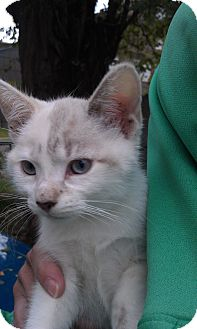 Domestic Shorthair Kitten for adoption in Cleveland, Ohio - Marshmellow (slightly toasted
