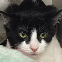 Domestic Shorthair Cat for adoption in Burbank, California - Millie
