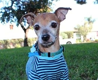 Chihuahua Mix Dog for adoption in Rancho Palos Verdes, California - Macaroni