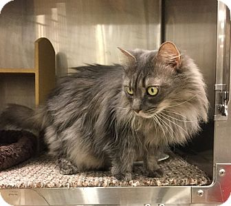 Domestic Longhair Cat for adoption in Colmar, Pennsylvania - Venus