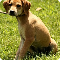 Adopt A Pet :: Abner - Brattleboro, VT
