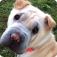Adopt A Pet :: Sandy - Barnegat Light, NJ