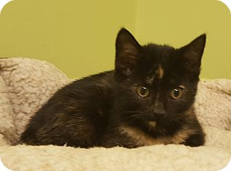 Domestic Shorthair Kitten for adoption in Circleville, Ohio - Rosie