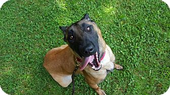 Belgian Malinois Mix Dog for adoption in Greeneville, Tennessee - Helde