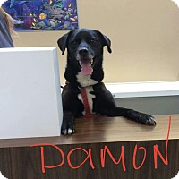 Labrador Retriever/Husky Mix Dog for adoption in Salem, Ohio - Damon