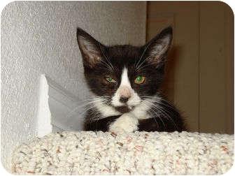 Domestic Shorthair Kitten for adoption in Orlando, Florida - Dot