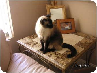 Siamese Cat for adoption in Phoenix, Arizona - BIG MAC
