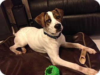 Boxer/Pointer Mix Dog for adoption in hollywood, Florida - dixie