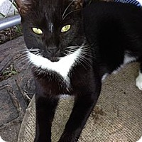 Domestic Shorthair Cat for adoption in Miami, Florida - Tux