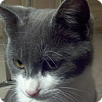 Adopt A Pet :: Bandit - Denton, TX