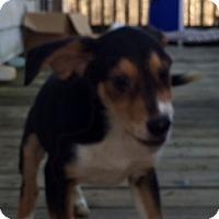 Adopt A Pet :: Ringo - Staunton, VA