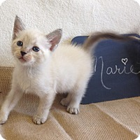 Adopt A Pet :: Marie - Coral Springs, FL