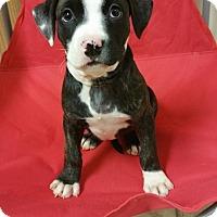 Adopt A Pet :: Jewel - Lima, OH