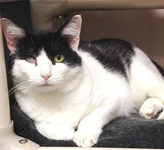 Domestic Shorthair Cat for adoption in New York, New York - Bandit (Manhattan)