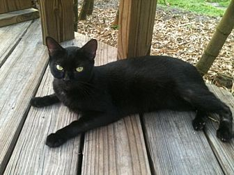 Domestic Shorthair Cat for adoption in Naples, Florida - Edgar Allen Poe
