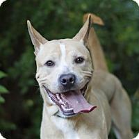 Jindo Mix Dog for adoption in Port Washington, New York - Butter