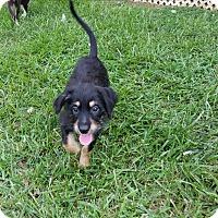 Adopt A Pet :: Gordie - Richmond, VA
