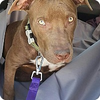 Pit Bull Terrier Mix Dog for adoption in Los Angeles, California - Jacques