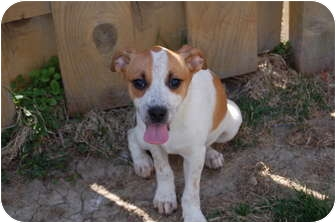 Jack Russell Terrier/Beagle Mix Puppy for adoption in Hainesville, Illinois - Honeybun