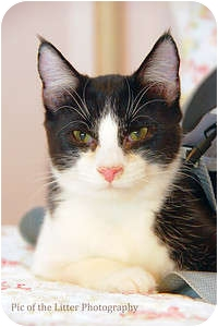 Domestic Shorthair Cat for adoption in Scottsdale, Arizona - Tango